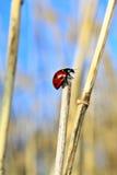 όμορφο ladybug Στοκ εικόνα με δικαίωμα ελεύθερης χρήσης