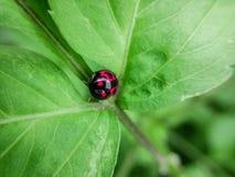 Όμορφο ladybug Στοκ Εικόνα