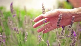 Όμορφο Lavender διακλαδίζεται αργά ταλαντεμένος στην ελαφριά ηλιόλουστη ημέρα θερινού αερακιού απόθεμα βίντεο