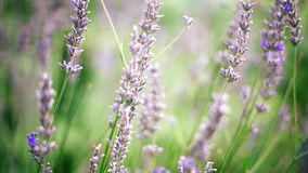 Όμορφο Lavender διακλαδίζεται αργά ταλαντεμένος στην ελαφριά ηλιόλουστη ημέρα θερινού αερακιού φιλμ μικρού μήκους