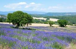όμορφο lavender Προβηγκία πεδίων Στοκ Εικόνες