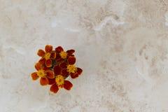 Όμορφο marigold ανθών vase λουλουδιών Στοκ εικόνα με δικαίωμα ελεύθερης χρήσης
