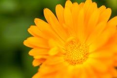 Όμορφο marigold (Calendula) στενό σε επάνω Στοκ φωτογραφία με δικαίωμα ελεύθερης χρήσης
