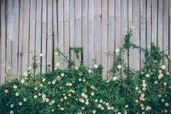 Όμορφο Narrowleaf Zinnia στο υπόβαθρο εχθρών χρήσης τοίχων μπαμπού Στοκ Εικόνα