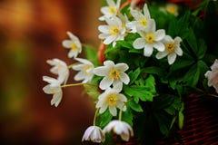 Όμορφο nemorosa Anemone λουλουδιών Στοκ φωτογραφίες με δικαίωμα ελεύθερης χρήσης