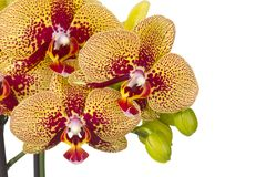 όμορφο orchid λουλουδιών Στοκ φωτογραφίες με δικαίωμα ελεύθερης χρήσης