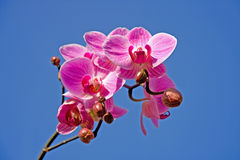 όμορφο orchid ροζ Στοκ φωτογραφίες με δικαίωμα ελεύθερης χρήσης