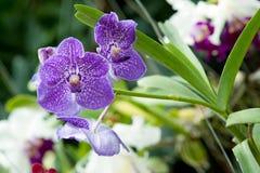 Όμορφο orchid Στοκ Εικόνες