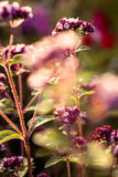 Όμορφο oregano ανθίζει σε έναν κήπο έτοιμο για το τσάι Καλό καρύκευμα για το κρέας Δονούμενος θερινός κήπος Στοκ φωτογραφία με δικαίωμα ελεύθερης χρήσης