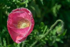 Όμορφο papaver - somniferum Στοκ εικόνες με δικαίωμα ελεύθερης χρήσης