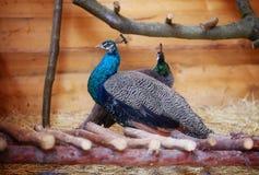 Όμορφο peacock που επιδεικνύει το φτέρωμά του Πορτρέτο του peacock με τα φτερά Στοκ Εικόνα