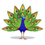 Όμορφο peacock που στέκεται με τα πράσινα φτερά έξω διανυσματική απεικόνιση