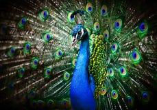 όμορφο peacock Στοκ Εικόνες