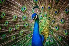 όμορφο peacock Στοκ φωτογραφία με δικαίωμα ελεύθερης χρήσης