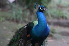 όμορφο peacock Στοκ Φωτογραφίες