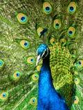 όμορφο peacock Στοκ εικόνα με δικαίωμα ελεύθερης χρήσης