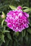 όμορφο peony ροζ στοκ φωτογραφίες