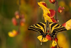 Όμορφο pilumnus Papilio πεταλούδων στην τροπική δασική συνεδρίαση στο άνθος Στοκ Φωτογραφία