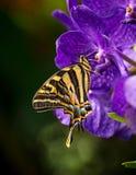Όμορφο pilumnus Papilio πεταλούδων στην τροπική δασική συνεδρίαση στο άνθος Στοκ εικόνες με δικαίωμα ελεύθερης χρήσης