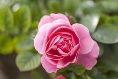 Όμορφο pinkrose Στοκ Φωτογραφίες