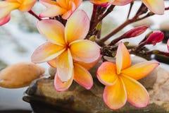 Όμορφο plumeria ή frangipani λουλουδιών στο νερό και το βράχο χαλικιών Στοκ Εικόνες