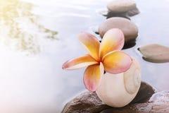 Όμορφο plumeria ή frangipani λουλουδιών στο νερό και το βράχο χαλικιών Στοκ εικόνα με δικαίωμα ελεύθερης χρήσης
