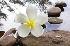 Όμορφο plumeria ή frangipani λουλουδιών στο νερό και το βράχο χαλικιών Στοκ Φωτογραφίες