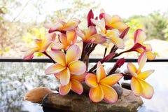 Όμορφο plumeria ή frangipani λουλουδιών στο νερό και το βράχο χαλικιών Στοκ Φωτογραφία