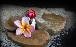 Όμορφο plumeria ή frangipani λουλουδιών στο νερό και το βράχο χαλικιών Στοκ εικόνες με δικαίωμα ελεύθερης χρήσης