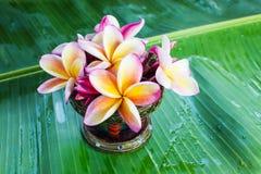 Όμορφο plumeria ή frangipani λουλουδιών στο πράσινο φύλλο μπανανών Στοκ Εικόνα