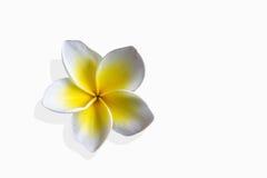 Όμορφο plumeria ή frangipani λουλουδιών στο ύφος μπουτίκ της Ασίας Στοκ Φωτογραφία