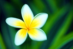 όμορφο plumeria Στοκ Εικόνα