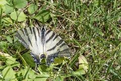 Όμορφο podalirius Iphiclides πεταλούδων Podalirius που σκαρφαλώνει στη χλόη Στοκ Εικόνες