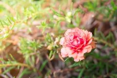 Όμορφο Portulaca στο υπόβαθρο που θολώνεται στοκ φωτογραφίες με δικαίωμα ελεύθερης χρήσης