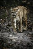 Όμορφο Puma αρσενικό πρόσωπο με πρόσωπο με το φωτογράφο στοκ εικόνες