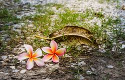 Όμορφο pumeria στοκ φωτογραφίες