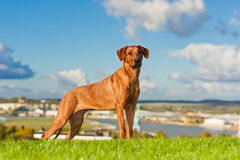 Όμορφο rhodesian ridgeback σκυλιών στοκ εικόνα με δικαίωμα ελεύθερης χρήσης