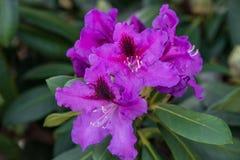 Όμορφο Rhododendron σε ένα πράσινο εδαφολογικό υπόβαθρο Στοκ εικόνα με δικαίωμα ελεύθερης χρήσης