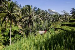 Όμορφο ricefield στο κεντρικό Μπαλί, κατάπληξη του χωριού Ubud Στοκ Εικόνα