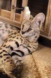 Όμορφο Ripley η Pet Serval Στοκ εικόνα με δικαίωμα ελεύθερης χρήσης