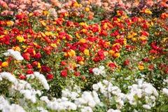 Όμορφο Rose Garden Στοκ Εικόνα