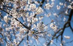 Όμορφο Sakura στον Καναδά στοκ φωτογραφία με δικαίωμα ελεύθερης χρήσης