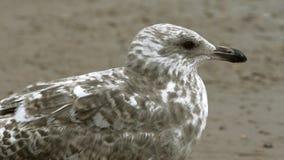 όμορφο seagull σε μια αμμώδη παραλία απόθεμα βίντεο