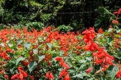 Όμορφο spadix ή λουλούδι & x28 φλαμίγκο Anthuriums& x29  στον κήπο Στοκ εικόνα με δικαίωμα ελεύθερης χρήσης