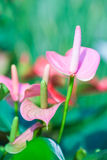 Όμορφο spadix (Anthuriums) στον κήπο Στοκ Εικόνα