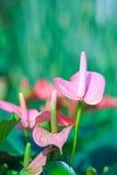 Όμορφο spadix (Anthuriums) στον κήπο Στοκ φωτογραφίες με δικαίωμα ελεύθερης χρήσης