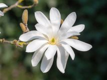 Όμορφο stellata magnolia σε έναν κήπο στοκ εικόνες