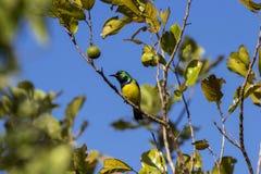 Όμορφο sunbird στις άγρια περιοχές της Μοζαμβίκης Στοκ Φωτογραφίες
