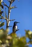 Όμορφο sunbird στις άγρια περιοχές της Μοζαμβίκης Στοκ φωτογραφία με δικαίωμα ελεύθερης χρήσης