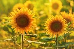 Όμορφο Sunlowers στον τομέα Στοκ Εικόνα